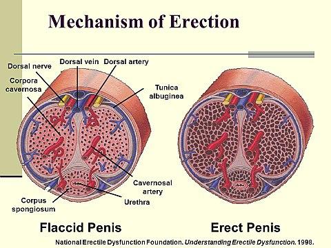 a pénisz keménysége az erekció során