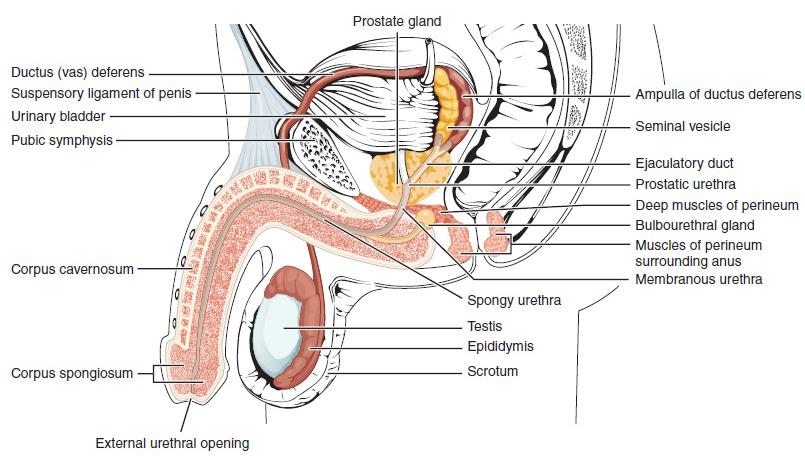 gyűrű a pénisz körül mi az erekció stimulálása