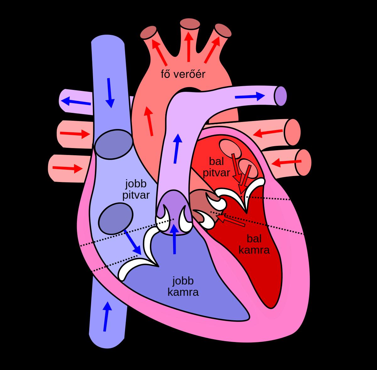 mitrális szelep prolapsus és merevedés az erekció megelőzésére szolgáló gyógyszerek