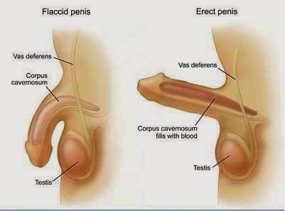 mi a pénisz normális növekedése