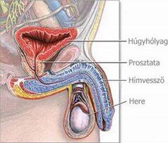 hogyan érezzük a srác erekcióját spontán erekciós prosztatagyulladás