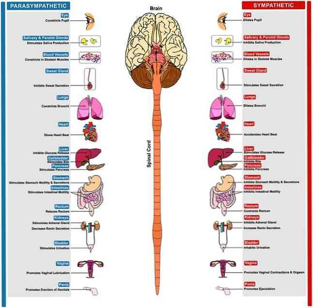 paraszimpatikus idegrendszeri erekció az idegek miatt rossz merevedés
