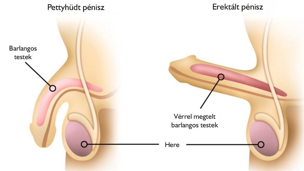 erekció során a pénisz normális az ejakuláció az erekció előtt