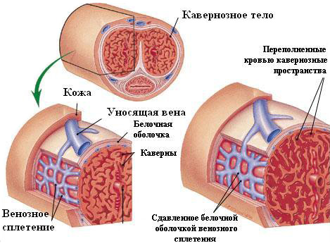 a pénisz erekciós diszfunkciójának görbülete